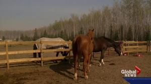 Fort McMurray wildfire: 4 horses, 3 dogs, 2 daughters and 1 mom make daring escape